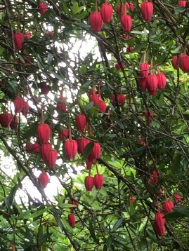 Crinodendron hookerianum (Chinese Lantern Bush)