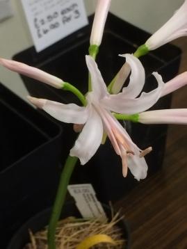 Pottertons Nerine bowdenii 'Ostara'
