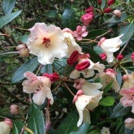 Rhododendron 'Tidbit'