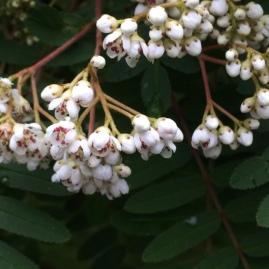 Sorbus hybrid (Rowan)