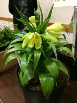 Fritillaria raddeana 2