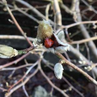 ladybird in Magnolia stellata