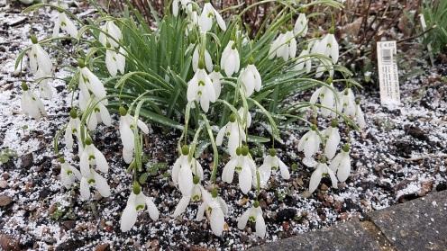 snowdrops a